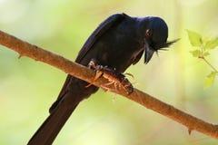 Svart fågel med dess rov arkivbilder