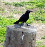 Svart fågel på en stubbe Arkivfoto