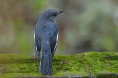 Svart fågel på mossaväggen Royaltyfri Foto