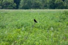 Svart fågel på pinnen Fotografering för Bildbyråer