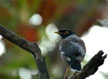 Svart fågel som placerar på ett trägångjärn Arkivfoto