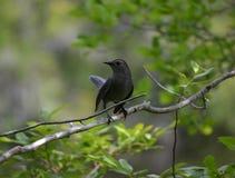 Svart fågel som skyddar hans barn Royaltyfri Fotografi