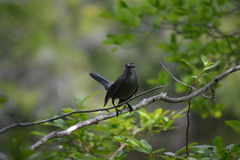 Svart fågel som skyddar hans barn Fotografering för Bildbyråer