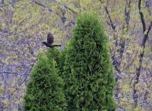 Svart fågel som tar flyg Arkivbilder