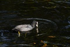 Svart fågelsimning på sjön i höst Arkivfoto
