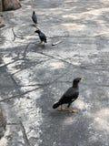 Svart fågeltrio arkivbilder
