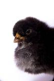 Svart fågelungeheadshot Arkivbild