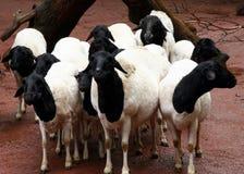 svart fårwhite royaltyfri foto
