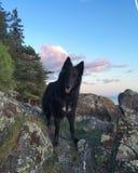 Svart för hundbelgianshepardsolnedgång Fotografering för Bildbyråer