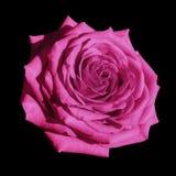 Svart för rosa färgrosblomman isolerade bakgrund med den snabba banan Closeup inga skuggor Arkivfoto