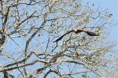 Svart försåg med krage Hawk Head på i flykten Fotografering för Bildbyråer