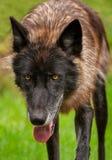 Svart fasGrey Wolf Canis lupus förföljer framåtriktat royaltyfria bilder