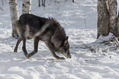Svart fasGrey Wolf Canis lupus flyttar sig rätt royaltyfria bilder