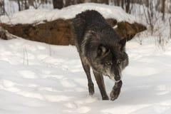 Svart fasGrey Wolf Canis lupus går framåtriktat till och med snö Royaltyfri Foto