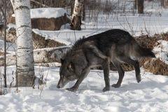 Svart fasGrey Wolf Canis lupus går vänstert Arkivfoton