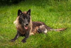 Svart fasGrey Wolf Canis lupus ligger i gräs royaltyfri foto