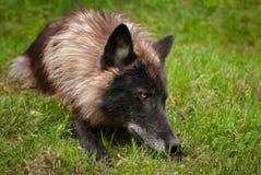 Svart fasGrey Wolf Canis lupus ligger i gräs Arkivbild