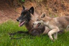 Svart fasGrey Wolf Canis lupus och valp royaltyfri bild