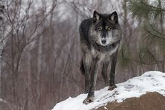 Svart fasGrey Wolf Canis lupus Paw Forward On Rock royaltyfri foto