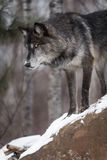 Svart fasGrey Wolf Canis lupus ser ner från uppe på vaggar royaltyfri foto