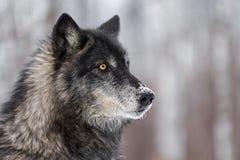 Svart fasGrey Wolf Canis lupus ser till rätten royaltyfria bilder