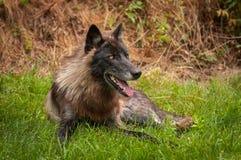 Svart fasGrey Wolf Canis lupus ser upp från gräs Arkivfoton