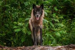 Svart fasGrey Wolf Canis lupus ser ut från uppe på journal royaltyfri foto