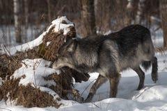 Svart fasGrey Wolf Canis lupus sniffar på journalen arkivfoto