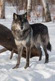 Svart fasGrey Wolf Canis lupus står framme av journal arkivfoto