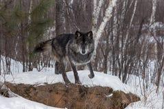 Svart fasGrey Wolf Canis lupus startar att hoppa av vaggar fotografering för bildbyråer
