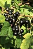 svart filialvinbär arkivfoton