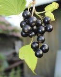 svart filialvinbär Arkivbild