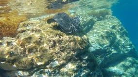 Svart fisk för mantastråle som simmar på klart vatten Arkivfoton