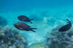 Svart fisk som är undervattens- i Blacket Sea Arkivbilder
