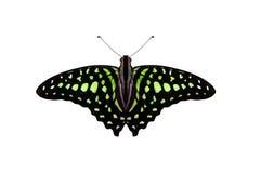 svart fjäril Fotografering för Bildbyråer