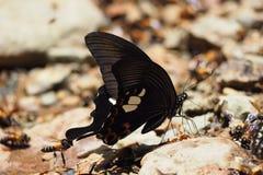 svart fjäril Arkivbilder