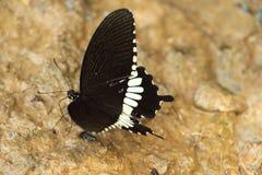 svart fjäril Arkivbild