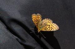svart fjäril för bakgrund royaltyfri fotografi