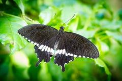 Svart fjäril i trädgården, Chiangmai Arkivbild