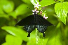 svart fjärilsleaf Royaltyfri Bild