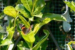 svart fjärilsorange royaltyfri fotografi