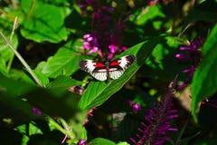 svart fjärilsred Royaltyfri Foto