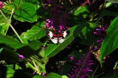svart fjärilsred Royaltyfria Bilder