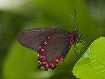 svart fjärilsswallowtail royaltyfri fotografi