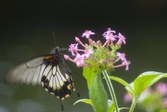 svart fjärilswhite Royaltyfria Foton