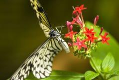 svart fjärilswhite Royaltyfri Foto