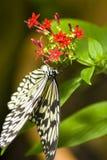 svart fjärilswhite Arkivfoton