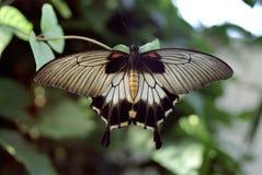 svart fjärilswhite Arkivbild