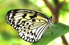 svart fjärilswhite Royaltyfri Bild