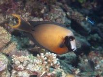 Svart-fläck surgeonfish Arkivbilder